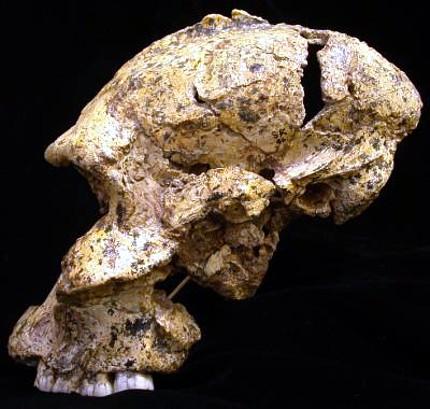ParanthropusRobustus01