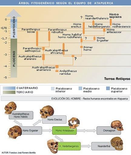 atapuerca arbol evolución