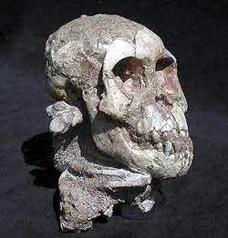 AustrlopithecusAfarensis003TA