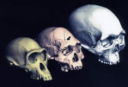 Evolución Homo